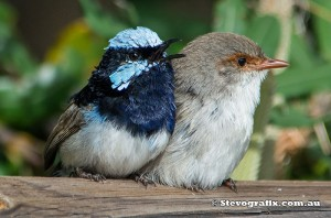 superb-fairy-wrens-pair-young-male-2664