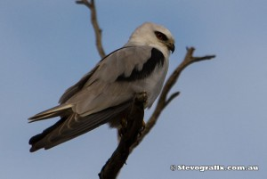 black-shouldered-kite-7768