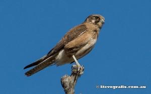 brown-falcon-9319