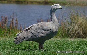 cape-barren-goose-37083