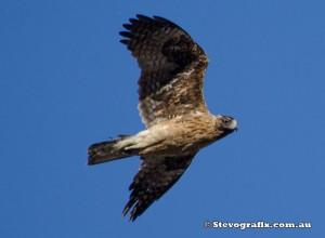 eagle-little-dark-morph-33770