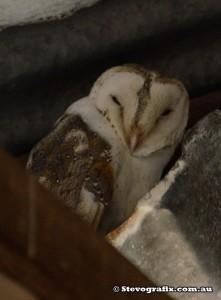eastern-barn-owl