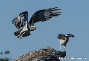 eastern-ospreys-49042