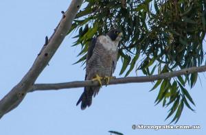 peregrine-falcon-24566