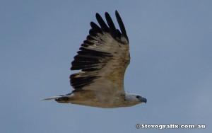 sea-eagle-white-bellied-43027