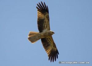 whistling-kite-11318