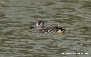 pink-eared-duck-33111