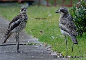 Bush-stone-curlew-family-meeting