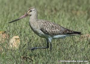 bar-tailed-godwit-36706