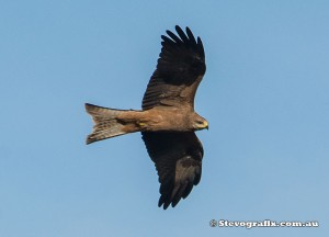 black-kite-39042