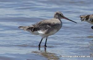 black-tailed-godwit-30330