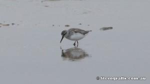 broad-billed-sandpiper-35844