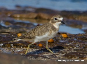 double-banded-plover-45501