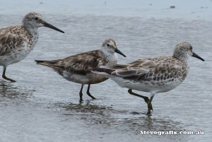 great-&-red-knot-39296