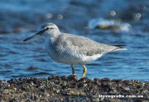 grey-tailed-tattler-22834