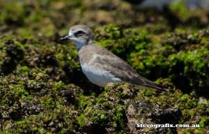 plover-lesser-sand-42662
