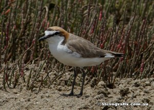 red-capped-plover-30476