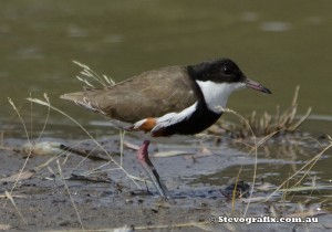 red-kneed-dotterel-33180