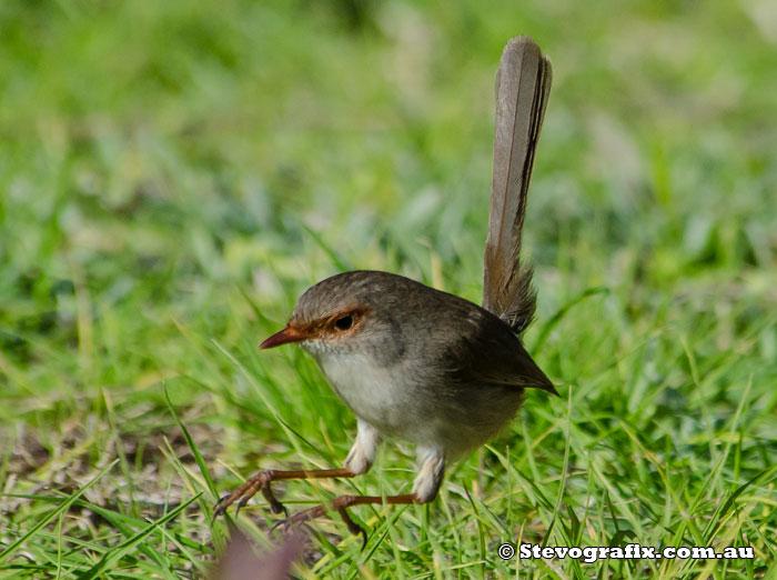 superb-fairy-wren-female-hop-50113