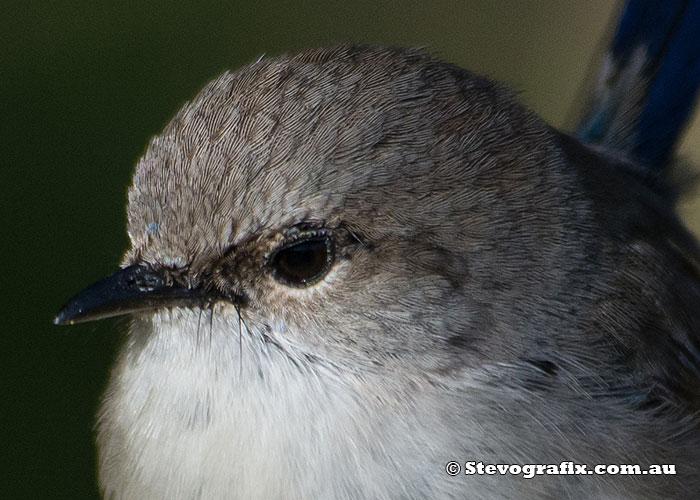 superb-fairy-wren-male-ecp-close-0009
