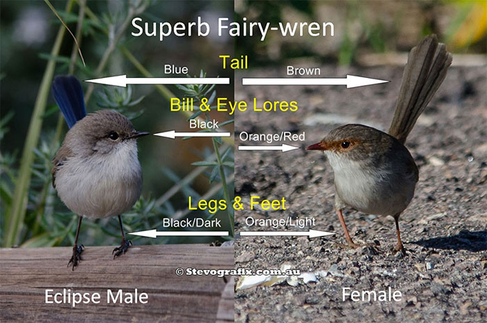 superb-fairy-wrens-described