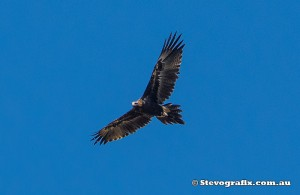 wedge-tailed-eagle-35298